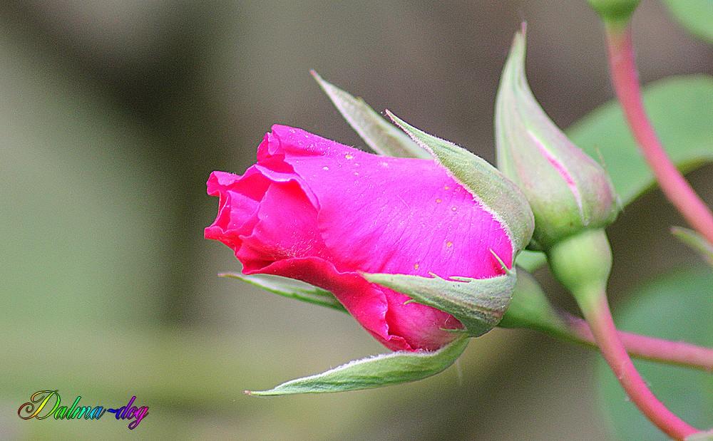 boutons de rose