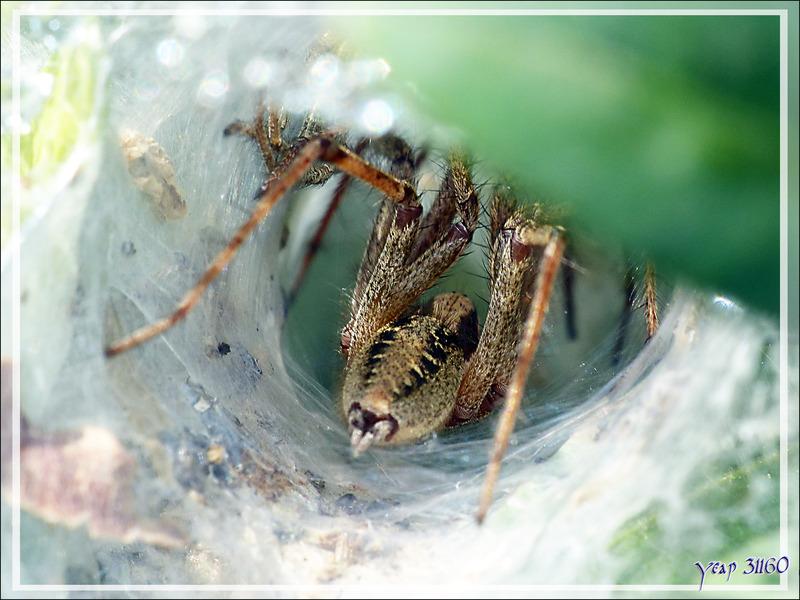 Araignée Agélène labyrinthe (Agelena labyrinthica) - Lartigau - Milhas - 31