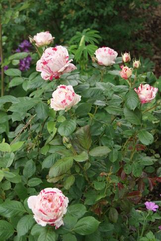 rosier blanc flammé de framboise ' Scentimental ' de Sunflor (1996)