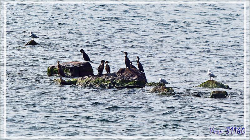 Cormoran à aigrettes, Double-crested (Cormorant Phalacrocorax auritus) - Thousand Islands (Les Mille-Îles) - Gananoque - Ontario - Canada
