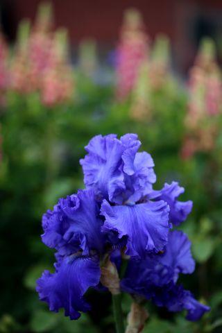 Roseraie : allée d'Iris - An 1