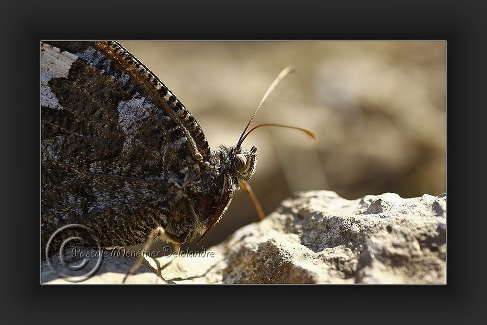 Siléne (Brintesia circe)