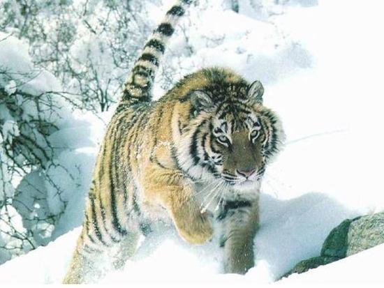 ob_bbca51_le-tigre-de-siberie