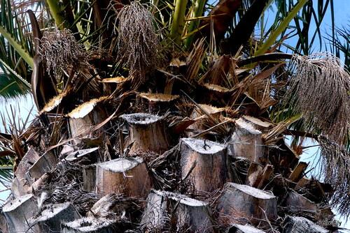 Haut du palmier