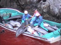 La pêche aux dauphins