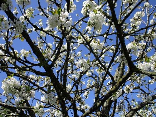 Branches de cerisier en fleurs