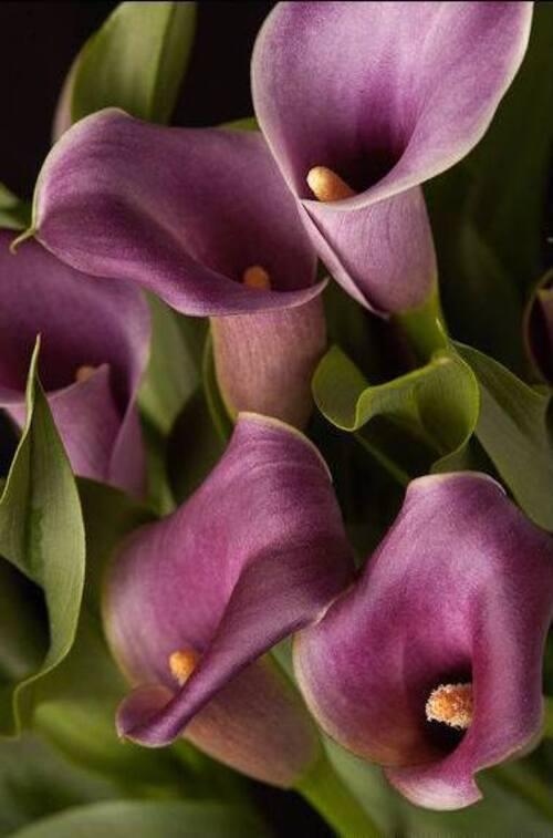 Fleurs cultivées : Arum