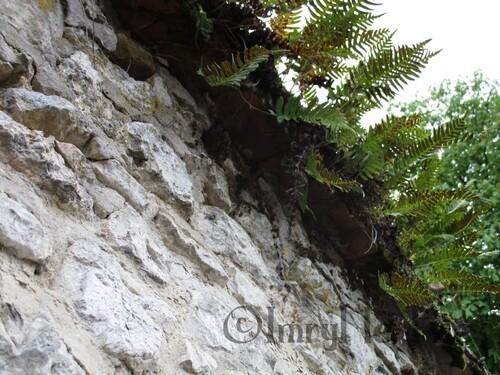 Fougères sur un mur de pierre
