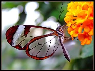 PapillonTranslucide (2)