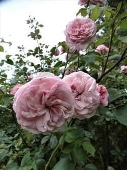 Rose ou blanc? Maria Theresia ou Maria Mathilda?