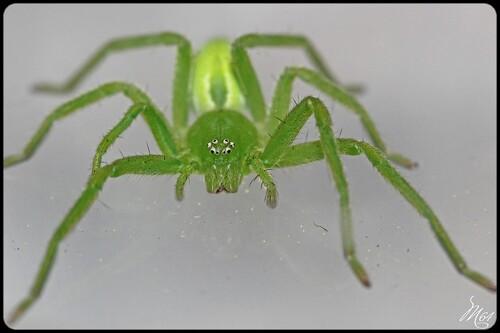 Sparassidae
