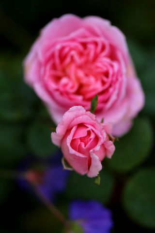 Roseraie - Octobre (4/5)