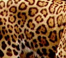 peau-jaguar.jpg
