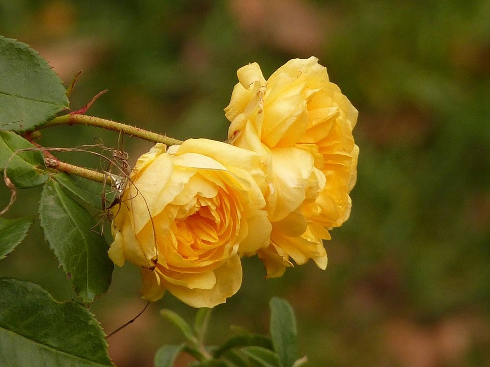 Roses-Anny-Duperey-.jpg
