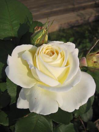 Les roses de juillet 2013 2/2