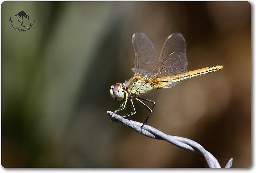 Sympetrum fonscolombii femelle