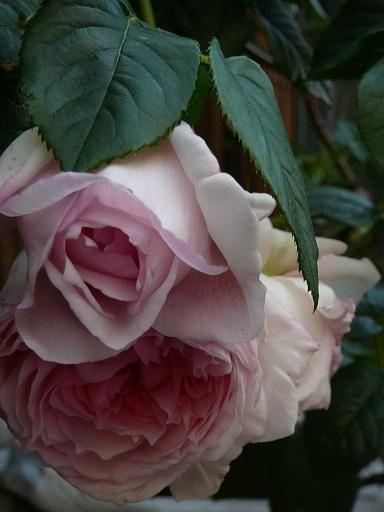 """""""The Wedgood Rose"""" David Austin. Belles fleurs de taille moyenne à grande, avec des pétales délicates presque transparentes et d'une couleur d'un rose bleuté, le tout contribuant à donner un charmant effet de Rose Ancienne. Elles dégagent un parfum fruité agréable sur les pétales extérieurs, et une forte senteur de myrrhe au centre. Leur croissance est exceptionnellement vigoureuse, envoyant de nombreux rameaux à partir de la base, et formant un grand buisson rampant."""