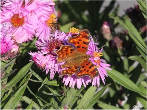 Papillons-2-3054-Robert-le-diable.jpg