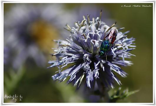 Stilbum splendidum (famille chrisidae) - (Guêpe)