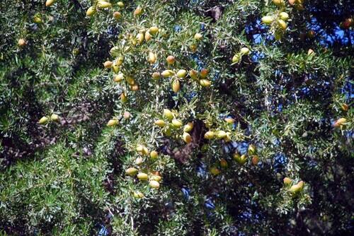 Les noix d'argan