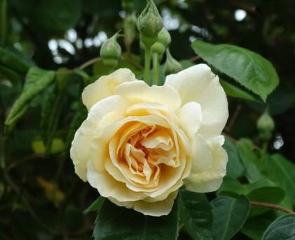 1ères roses