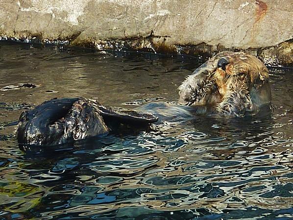Jour 28 Vancouver aquarium loutre 1