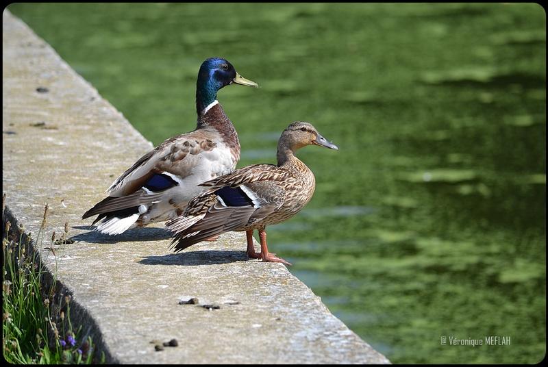 Rambouillet : Le canard Colvert