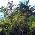 Kas (Casse) - Cassia fistula - Laxatif, fièvre, arthrite - Photo : Michaël