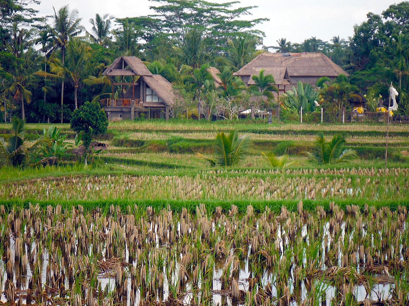 rice culture payogan Bali