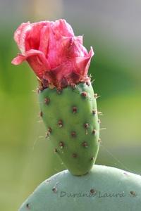 Opuntia Tomentosa va fleurir
