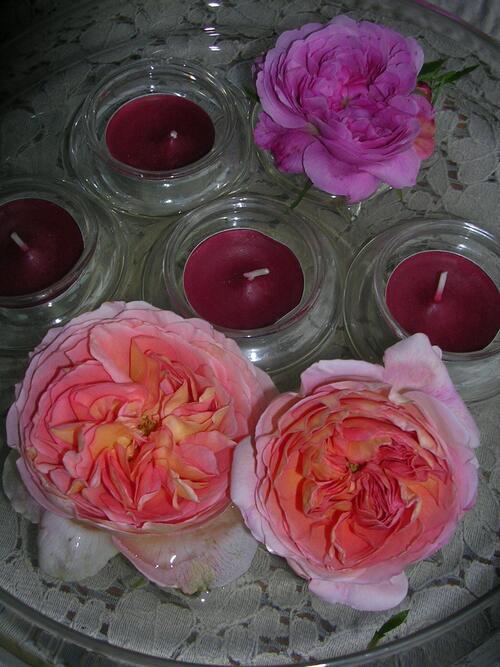 Un rosier coup de coeur: Abraham Darby