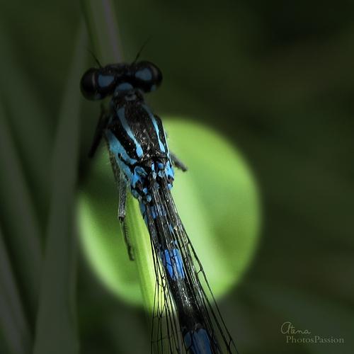 Coenagrion pulchellum 'bleue