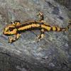 Salamandre (Salamandra salamandra)