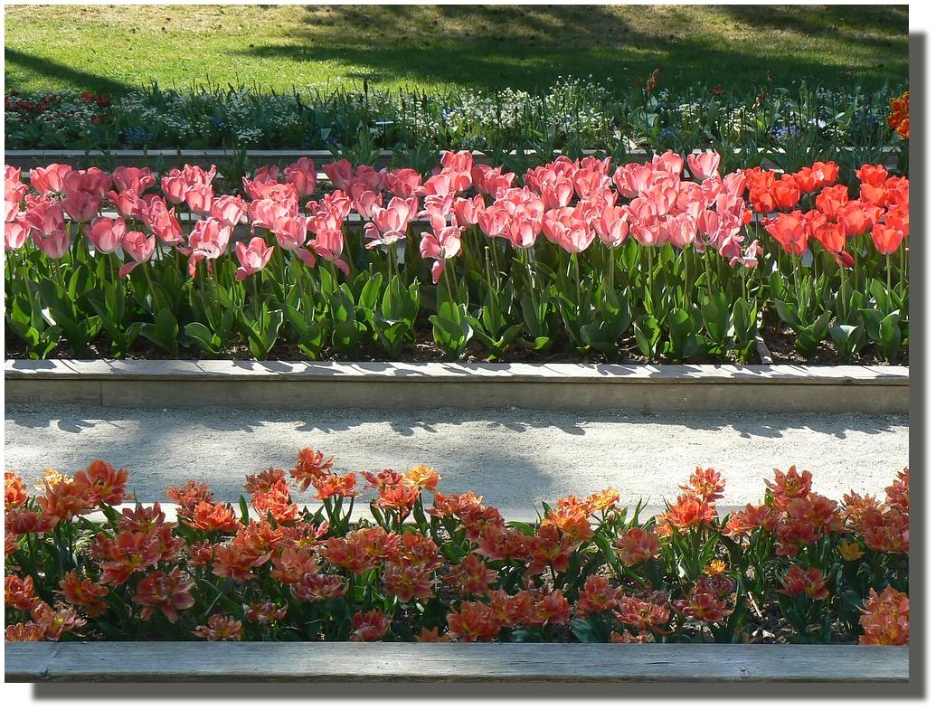 Fan, fan de la tulipe