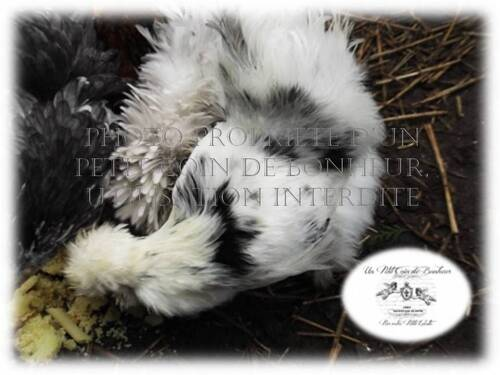 Photos de poules soies