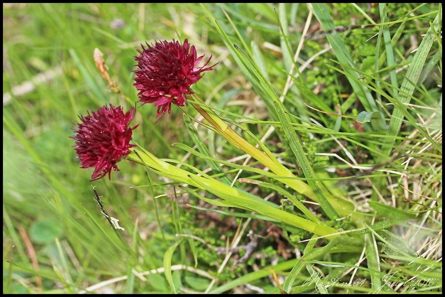 Orchidée : Nigritelle