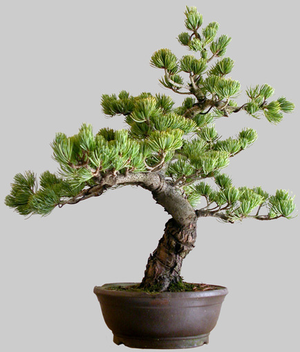 PINUS Pentaphylla 33 ans age