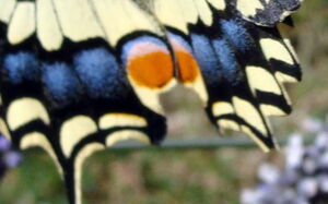 Copie_de_essai_macro_le_machaon