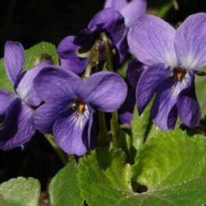 """Résultat de recherche d'images pour """"fleur violette"""""""