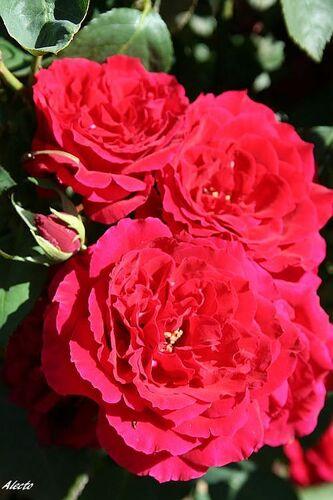 Les Roses de Warren : Alecto