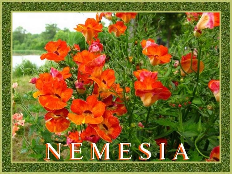 Fleurs cultivées : Nemesia