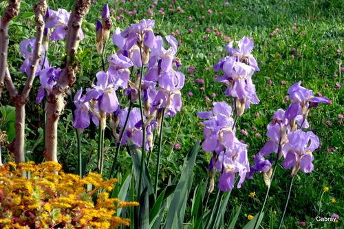 Dans mon jardin: des iris!