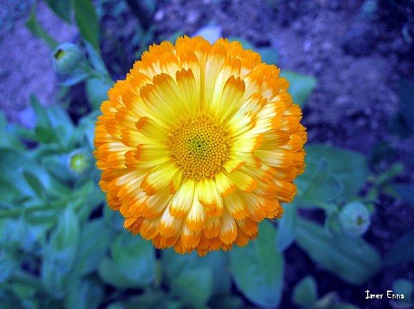 Fleurs-4179.JPG