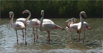 galerie-membre,oiseau-flamant-rose,dimanche-29-06-08-pont-de-gau