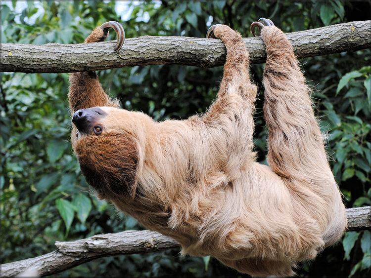 Photo de Paresseux du Zoo de la Boissière du Doré