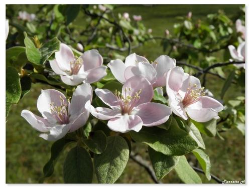 Floraison des Cognassiers