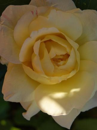 Rose jaune ' Madame Antoine Meilland '