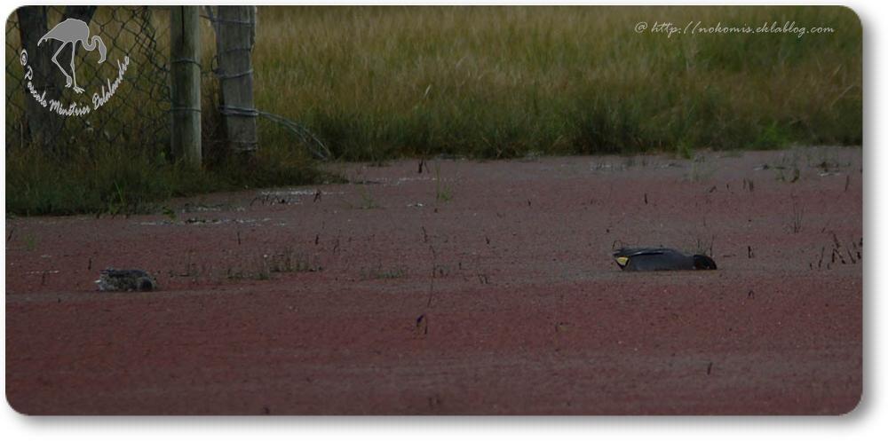 Sarcelles d'hiver - Anas crecca