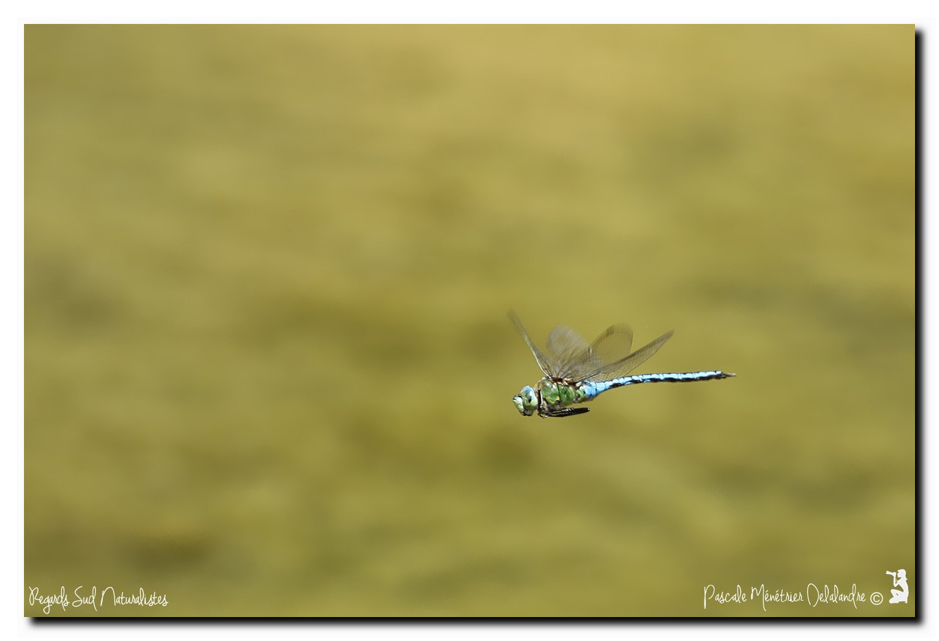 Anax empereur ♂ (Anax imperator)