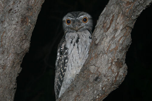 Ninoxe aboyeuse (Barking Owl) Australie